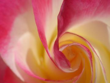 Rose_macro